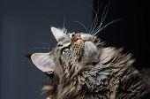 Maine Coon Cat Grey And Black Portrait