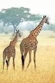Couple Of Giraffes (giraffa Camelopardalis) Walking In Serengeti Tanzania