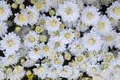 Close Up Top View Of White Chrysanthemum Flowers Use As Beautiful Florist Background,backdrop