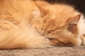 Ginger cat sleeping on the bed close-up
