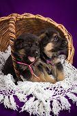 German shepherd puppies sitting in a basket.  Purple background.