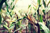image of corn stalk  - Corn on the stalk - JPG