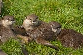 Three Young Oriental Small-clawed Otter.