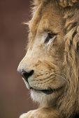 Lion In Mind.