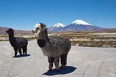 image of alpaca  - Alpaca in Lauca National Park - JPG