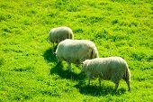 Sheeps On Beautiful Mountain Meadow In Norway