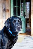 Loyal Black Dog