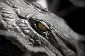 picture of alligator  - Evil Alligator Eye watches over the fearful - JPG