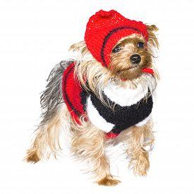 foto of shepherdess  - Yorkshire breed dog disguised as a shepherdess - JPG