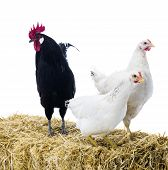 foto of hay bale  - Black rooster with two hens on bale of hay - JPG