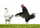 stock photo of mating animal  - Black rooster and white hen mating in field - JPG