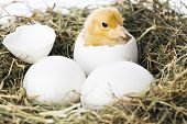 stock photo of baby chick  - Baby chick hatching from egg in nest - JPG