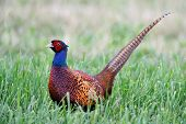 image of pheasant  - Common Pheasant in grass - JPG