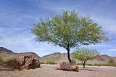 stock photo of mesquite  - Flowering Mesquite trees in Arizona mountain desert backyard in spring time - JPG