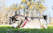 foto of siberian husky  - Siberian Husky catches the bee forepaws. Dog playing with insects in field.