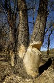 picture of girth  - Beavers have been gnawing on a cluster of old mature trees - JPG