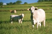 stock photo of cow  - Group of cows including a baby cow in the outback - JPG
