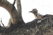 picture of tern  - White tern chick sitting on a branch - JPG