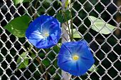 Beautiful Morning Glory Bloom Showing Colors Of Blue And White