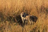 pic of hyenas  - Baby hyenas just come out from their hole Masai Mara - JPG