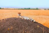 picture of cheetah  - Male cheetah sitting in grass and looking for its pray in Masai Mara Kenya - JPG