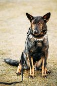 image of shepherd dog  - Black German Shepherd Dog Sitting On Ground - JPG