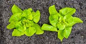 stock photo of butter-lettuce  - Closeup of two recently planted Butterhead lettuce plants iwith some rain drops - JPG