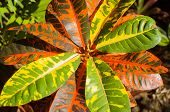 stock photo of crotons  - Detail close up of the leaves of the Variegated Croton plant - JPG