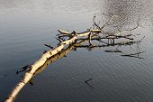 picture of floating  - Floating birch - JPG