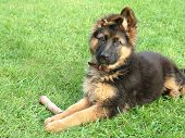 image of german shepherd  - small german shepherd puppy with a toy - JPG