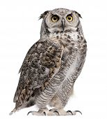 stock photo of owl eyes  - Great Horned Owl Bubo Virginianus Subarcticus in front of white background - JPG
