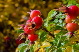 picture of wild-brier  - Briar wild rose hip shrub in nature - JPG