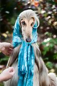 Afghan Grey Hound In A Scarf. poster