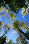 Birch grove, green-yellow autumn leaves and clear blue sky
