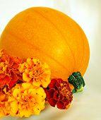 Pumpkin Marigold