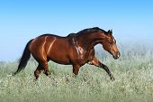 A Beautiful Bay Horse Jumps In A Field Against A Blue Sky. The Exercise Of A Sports Horse. Stallion  poster