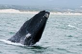 pic of gentle giant  - A Southern Right Whale breaching just off the coast of Hermanus in South Africa - JPG