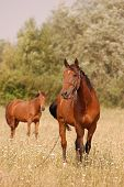 domestic horse poster