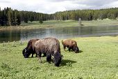 picture of open grazing area  - Bison grazing of open grass area with the Yellowstone River behind - JPG