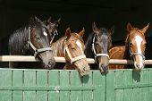 Closeup Face Of Horses In Stable.the Horse Is Looking Out From Behind Green Wooden Fence Of The Barn poster