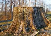 Massive Old Weathered Stump poster