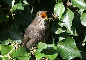 stock photo of brown thrush  - A thrush in a tree eating berries - JPG