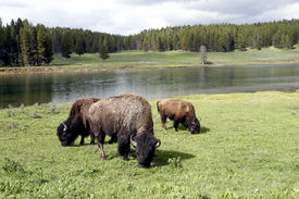 image of open grazing area  - Bison grazing of open grass area with the Yellowstone River behind - JPG