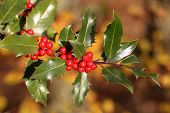 picture of aquifolium  - Details of a branch of Ilex aquifolium with red fruits