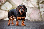 dachshund dog portrait outdoors