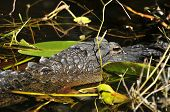 stock photo of alligator baby  - Alligator hide in the water in Everglade national park - JPG