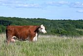 Red Hereford Cow