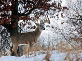 Whitetail deer profile