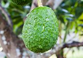 picture of avocado tree  - Avocado Growing on Tree in botanic garden