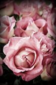 foto of pink roses  - Beautiful romantic pink roses in high contrast color - JPG